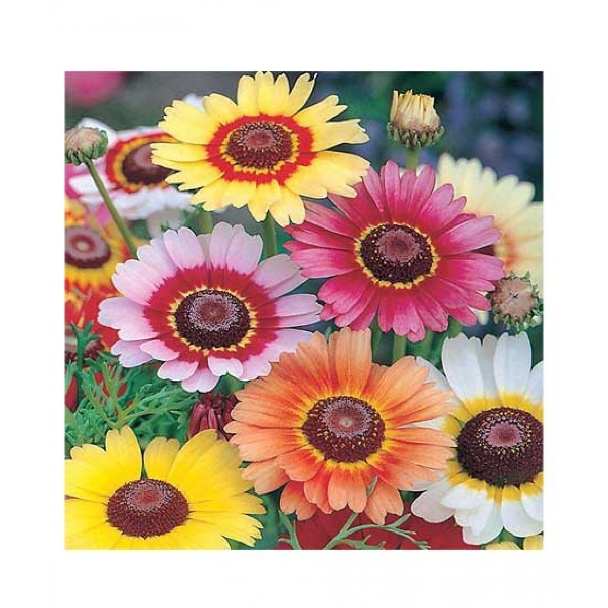 Diy Store Winter Season Mix Flower Seeds