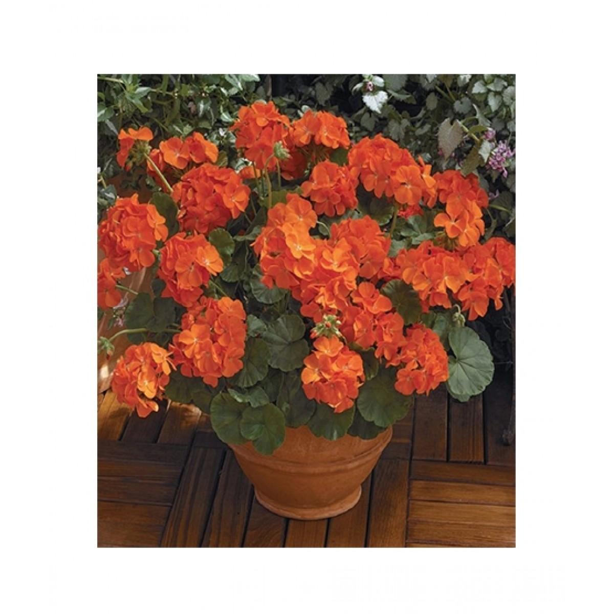 Husmah Geranium Maverick Flower Seeds Price In Pakistan Buy Husmah