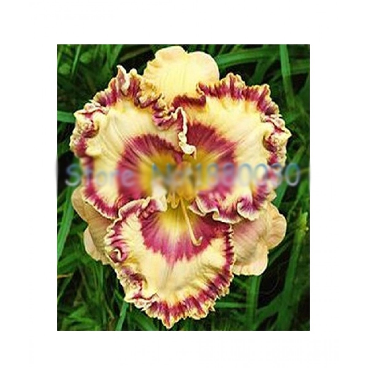Husmah Hibiscus Yellow Off White Flower Seeds Price In Pakistan