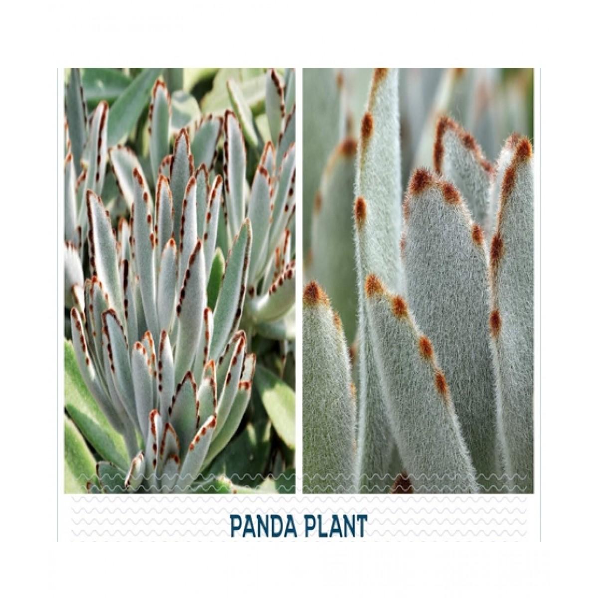 HusMah Panda Succulent Seeds