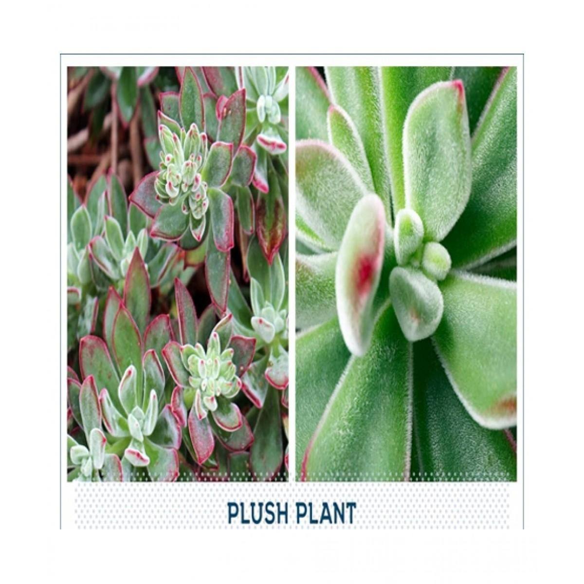 HusMah Plush Plant Succulent Seeds