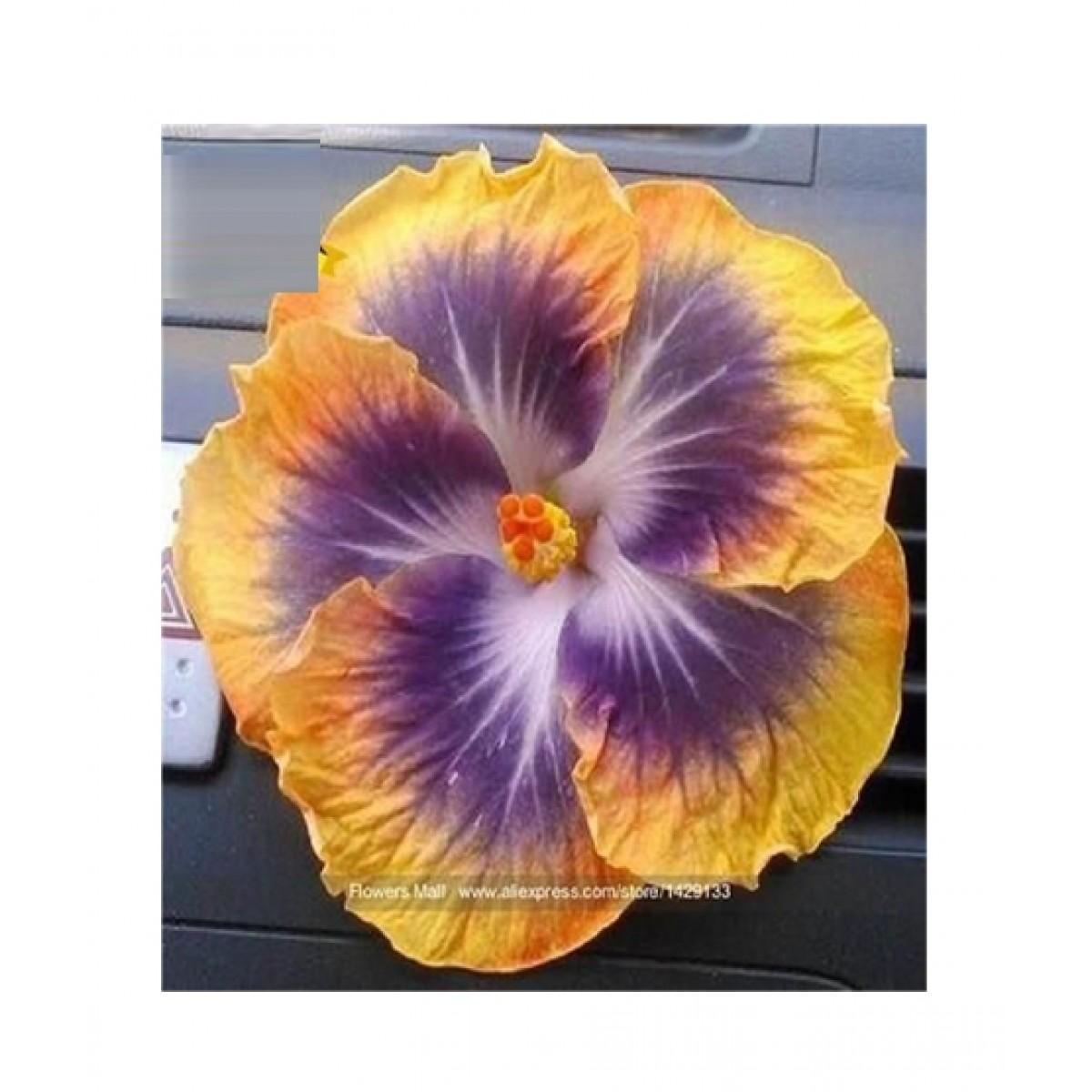 Husmah Purple Hibiscus Seeds Price In Pakistan Buy Husmah Yellow