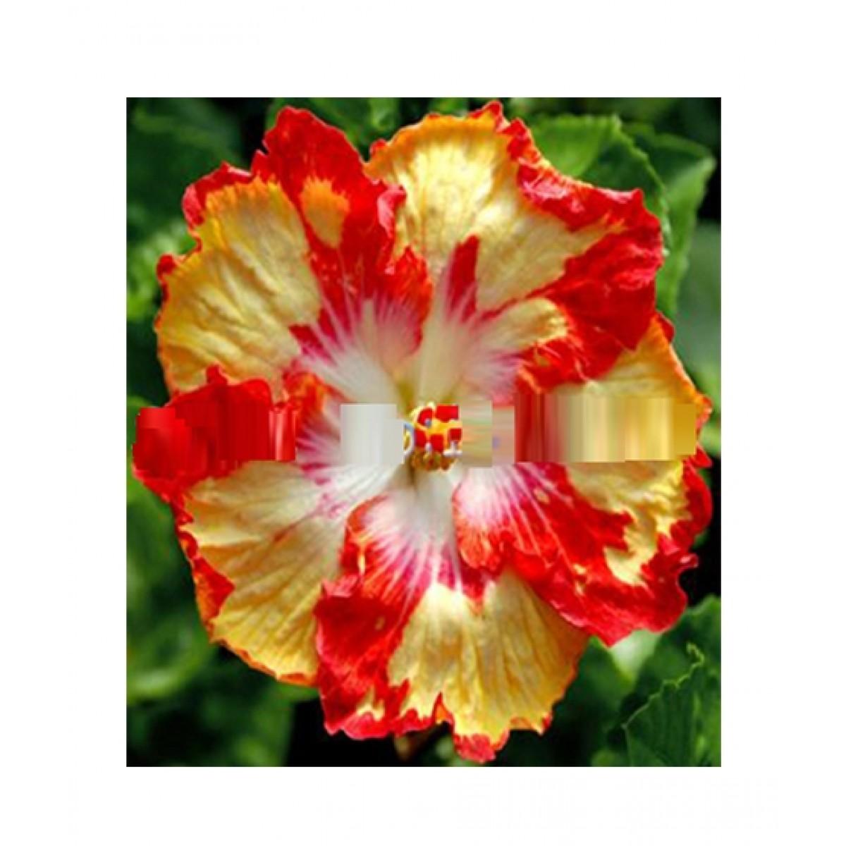 Husmah Yellow Hibiscus Seeds Price In Pakistan Buy Husmah Red