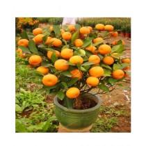 Husmah Bonsai Orange Fruit Tree Seeds