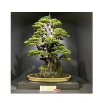 Husmah American Spruce Pine Tree Seeds