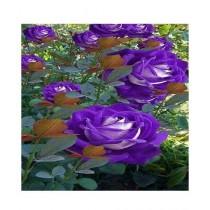 Husmah Rose Blue Bi-Color Rose Flower Seeds