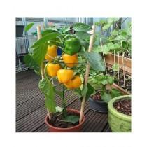 Husmah Capsicum Yellow Vegetable Seeds Home Gardending