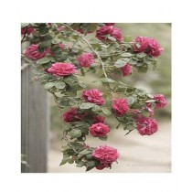 Husmah Climbing Rose Light Maroon Flower Seeds