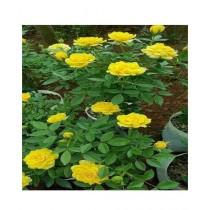 Husmah Rose Yellow Flower Seeds