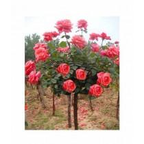 Husmah Rose Orange Tree Seeds