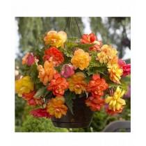 Husmah Begonia Flower seeds Yellow & Orange
