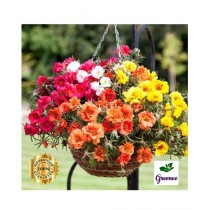 Diy Store Portulaca Double Mix Flowers Seeds
