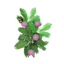Diy Store Mimosa Pudica Shame Plant Seeds