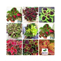 Diy Store Coleus Rainbow Mix Plant Seeds