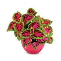Diy Store Coleus Dwarf Fairway Plant Seeds