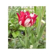 HusMah Armenia Tulip Flower Seeds