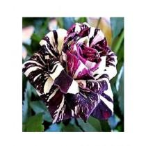 HusMah Black Dragon Rose Seeds