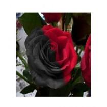 HusMah Black & Red Rose Flower Seeds