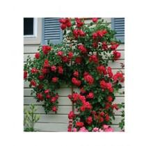 HusMah Blaze Red Climbing Rose Seeds