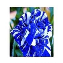 HusMah Blue Dragon Rose Seeds
