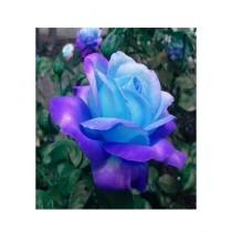HusMah Blue Stifling Remorse Rose Seeds