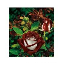 HusMah Chocolate White Rose Seeds