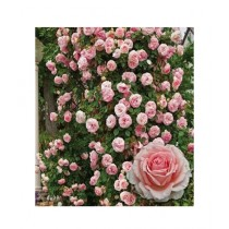 HusMah Climbing Rose Pink Flower Seeds