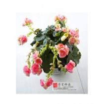 HusMah Fuchisia Pink Flower Seeds