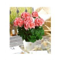 HusMah Geranium Maverick Pink Flower Seeds