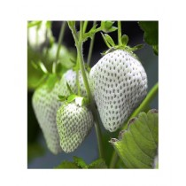 HusMah Giant Size Whtie Strawberry Seeds
