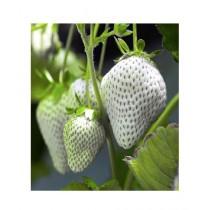HusMah Giant Size Whtie Strawberry Seeds