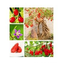 HusMah Goji Beryy Fruit Seeds