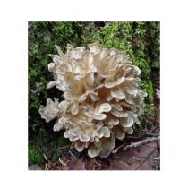 HusMah Hen of the Woods Mushroom Seeds