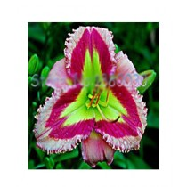 HusMah Hibiscus Green Multi Pink Flower Seeds