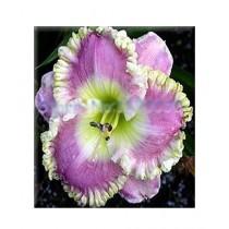 HusMah Hibiscus Light Purple Flower Seeds