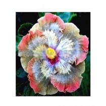 HusMah Hibiscus Multi Color Flower Seeds