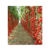 HusMah Hybrid Tomato Seeds