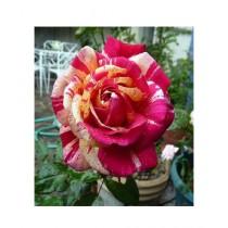 HusMah Metro Shower Rose Seeds