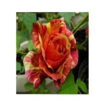 HusMah Orange Dragon Rose Seeds