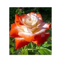 HusMah Orange Stifling Remorse Rose Seeds