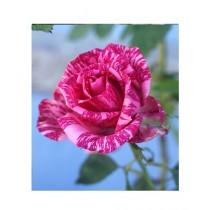 HusMah Pink Dragon Rose Seeds