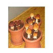 HusMah Porcini Mushroom Seeds