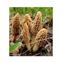 HusMah Morels Mushroom Seeds