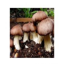 HusMah Portobello Mushroom Seeds