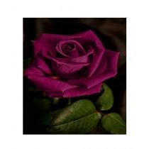 HusMah Purple Flower Rose Seeds