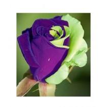 HusMah Purple Green Rose Seeds