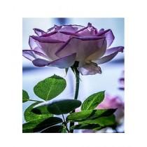 HusMah Purple Stifling Remorse Rose Seeds
