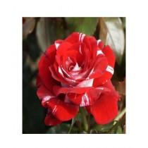 HusMah Red Dragon Rose Flower Seeds