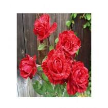 HusMah Red Metro Rose Seeds