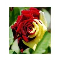HusMah Red & Yellow Rose Flower Seeds